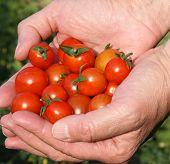 Hand_Tomato