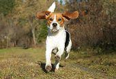 Beagle Running In Autumn Park