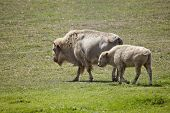 White American Bison and baby grazing in a field