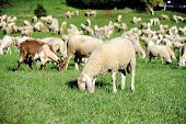 stock photo of baby sheep  - An image of a herd feeding on green pasture - JPG