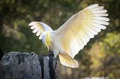 Beautiful Sulphur-crested Cockatoo Showing Off Its Yellow Crest And Wings With Beautiful White Feath poster
