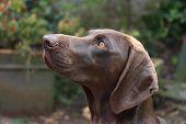 German Shorthaired Pointer Female, Three Years Old poster