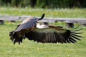 The Griffon Vulture Gyps Fulvus Is A Large Old World Vulture In The Bird Of Prey Family Accipitridae poster