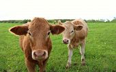 Two Curious Charolais Steers Standing In The Meadow poster