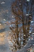 Reflection Of Bare Trees In A Puddle In Late Autumn/ Reflection Of Trees In A Puddle On Asphalt poster
