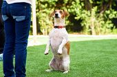 Portrait Funny Dog Sitting On Hind Legs Begging With Eyes In Praying Gaze. Cute Jack Russell Terrier poster