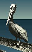 Vector Pelican