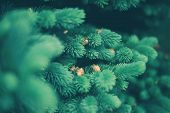 Background A Texture Furry Spruce Tree Branches For A Christmas Card poster