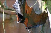 Greater Indian Fruit Bat