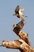picture of sub-saharan  - The lesser seen Giant Kingfisher male  - JPG