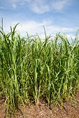 Sugar Cane Plants Being Grown On Farm Biofuel