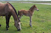 pic of fillies  - Horse and her filly in a meadow - JPG
