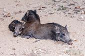 Group Of Wild Boar