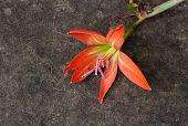 Fallen Orange Lily