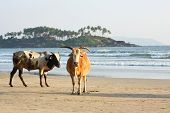 Picture of cows at the beach.
