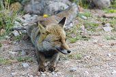 Italian Fox In Uccellina Wildlife Park. Grosseto, Tuscany, Italy