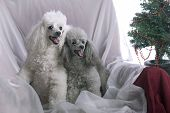 Two Poodles At Christmas