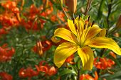 Asiatic garden yellow lily