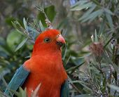 stock photo of king parrot  - a male king parrot keeps a careful watch as he searches for fresh seed pods - JPG