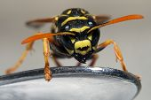 Close-Up Of Scary Looking Wasp