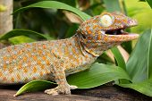 picture of tokay gecko  - Tokay Gecko close up of animal at daylight - JPG