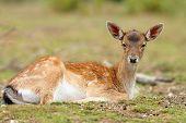 Fallow Deer Calf Relaxing