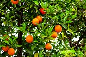 foto of mandarin orange  - Orange tree with ripe oranges and green in the garden - JPG