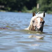 Young Haflinger Swimming And Looking At You