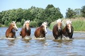 Batch Of Haflingers Moving In The Wather