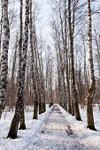 Frozen Alley In Birch Forest