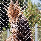 Giraffe Behind Grid Of Open-air Cage