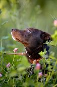 Portrait Of A Black Doggie In A Clover.