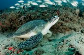 foto of school fish  - A green sea turtle in Jupiter - JPG