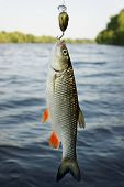 stock photo of chub  - Chub caught on plastic lure against water and sky - JPG