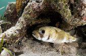 Porcupine Fish Under Ledge