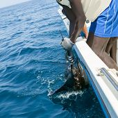 stock photo of sailfish  - Sailfish catch billfish sportfishing holding bill with hands and gloves - JPG