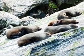 Fur seals (Arctocephalus forsteri) colony in Milford Sound, Fiordland National Park. Southland - New
