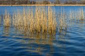 Reflections Of Cane Thicket On Lake Alserio  (north Italy)