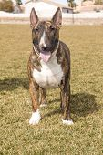 Brindle Bull Terrier on the lawn