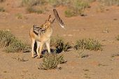 stock photo of jackal  - One Black backed jackal play with large feather in a dry desert having fun - JPG
