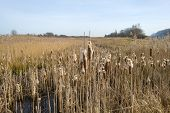 stock photo of bulrushes  - Bulrush in a field with reed in winter - JPG
