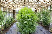 image of house-plant  - Marijuana ( cannabis) hemp plant growing inside of the green house in private garden of Washington State. Legal Medical marijuana law in US. Grower uses leaves to make juice for health support.
