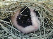 Teddy Guinea Pig In The Hay