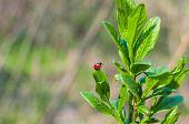 Ladybug On A Green Leaf On Natural Background