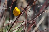 stock photo of goldfinches  - American Goldfinch perched on a tree branch in soft focus