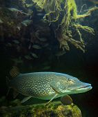 picture of musky  - Underwater photo of a big Pike  - JPG