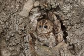 stock photo of camoflage  - A captive Tawny Owl perched in a hole in a large tree - JPG