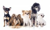 stock photo of exposition  - five little dogs in front of white background - JPG