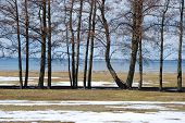 foto of alder-tree  - Alder trees in a row by the coast of the island Oland in Sweden - JPG