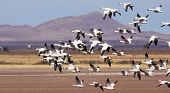 A Snow Geese Flock Races Past A Rural Landscape